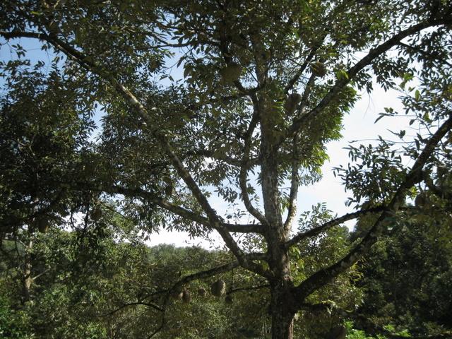 Durian_Tree